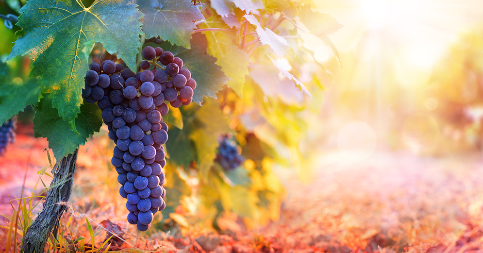 Terroir and its influence on wine